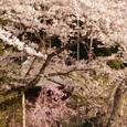 2011 桜5