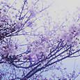 2018 桜♪♪