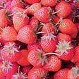 2018 自家製イチゴ収穫♪